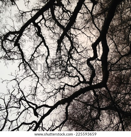 A view of a gray sky through majestic old trees. - stock photo