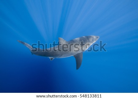 A view of a great white shark swimming in blue water