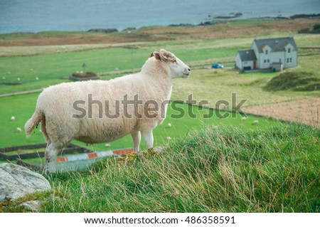 A View of a Lamb on the Isle of Iona in Scotland