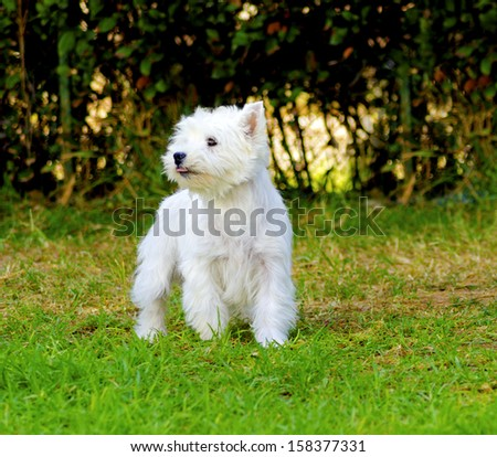 A view of a small, young and beautiful West Highland White Terrier dog standing on the lawn. Westie dogs are very friendly and love companionship. - stock photo