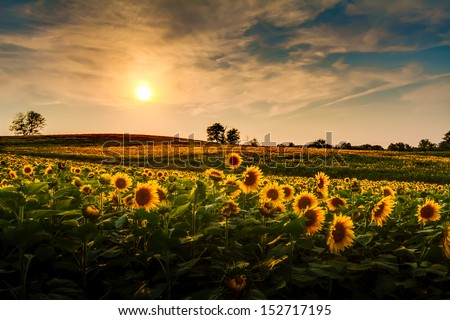A view of a sunflower field in Kansas. - stock photo