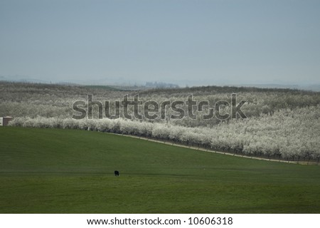 A view of an almond orchard in bloom, and a cow, wow! - stock photo