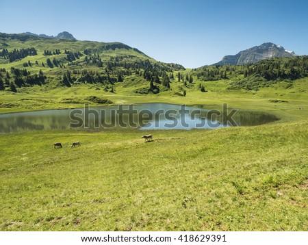 A view of cows standing near by the Kalbelesee lake surrounded by the Alpine mountains near village Schroecken in Bregenzerwald, region Vorarlberg, Austria - stock photo