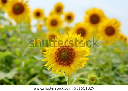 A view of sunflowers with a single one in focus