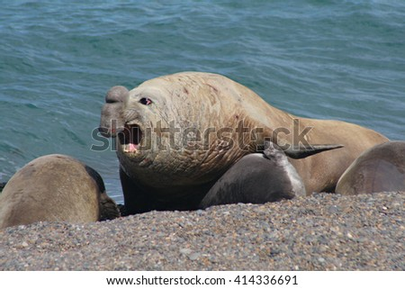 A view of the elephant seal