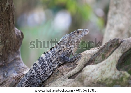 A view of the Iguana in the jungle - Costa rica