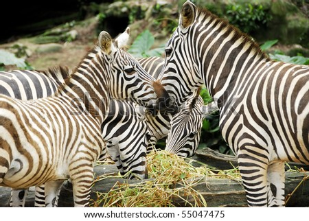 A view of young zebras having their food in the forest