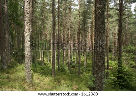 A view through a forest of Scots pine trees on a sunny day - stock photo