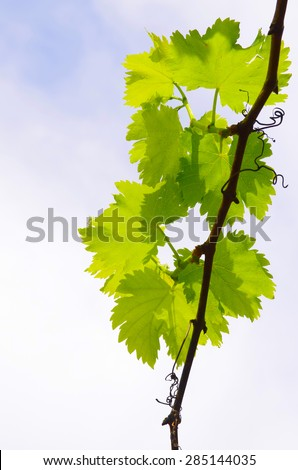 A vine branch with green leaves against a bright sky - stock photo