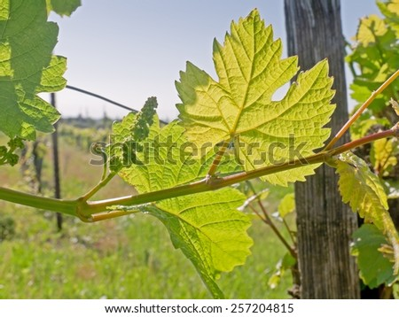 A vine leaf in the spring time.