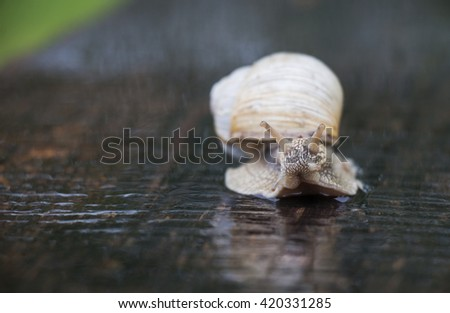 A vine snail creeps on a road in the rain - stock photo