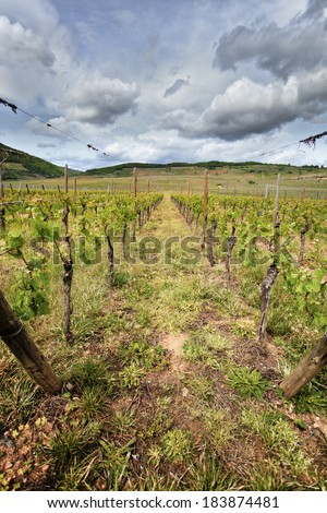 A vineyard during spring, new life is getting ready to produce some of the best French vines. - stock photo