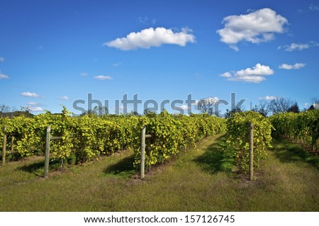 A vineyard full of grape vines at this winery in Central New Jersey. - stock photo
