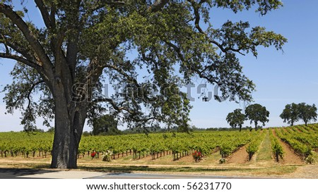 A vineyard in California's Shenandoah Valley framed by an old California Oak. - stock photo