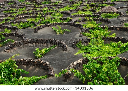 A vineyard in Lanzarote growing on volcanic soil. - stock photo