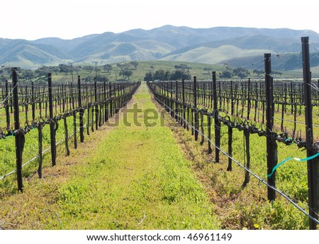 a vineyard in the central coast in spring - stock photo