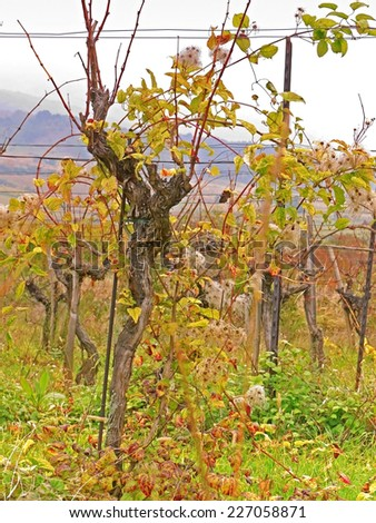 A vineyard in the fall time.  - stock photo