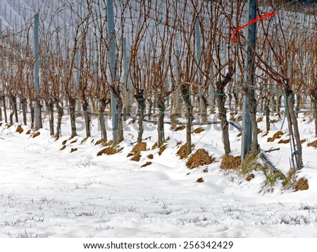 A vineyard in the winter time.