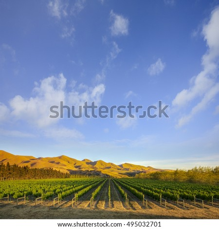 A vineyard near Waipara, in North Canterbury, New Zealand, in early morning sunlight.