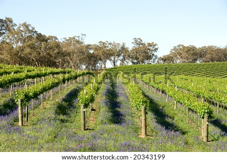 A vineyard near Young, New South Wales, Australia