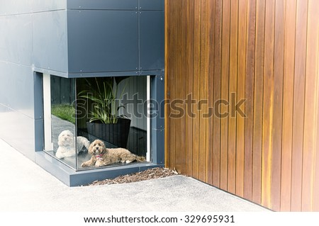 A vintage colour photograph of a white dog and a brown dog waiting in front of a low window at a house with timber and aluminium cladding with a black border - stock photo