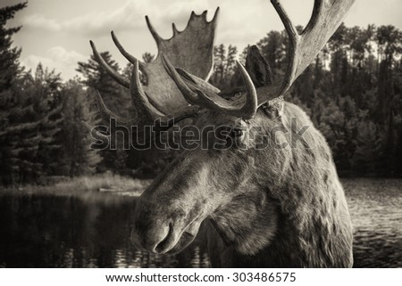 A Vintage looking sepia toned image of a Moose in Voyageurs National Park, Minnesota, USA - stock photo