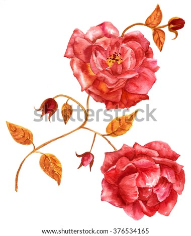 A vintage style watercolor drawing of a branch of red roses, open flowers and buds, on white background - stock photo