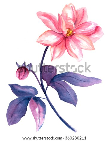 A vintage style watercolor drawing of a pink dahlia flower on white background - stock photo