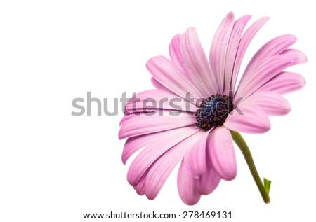 A violet Pink Osteosperumum Flower Daisy White Background. Macro Closeup - stock photo