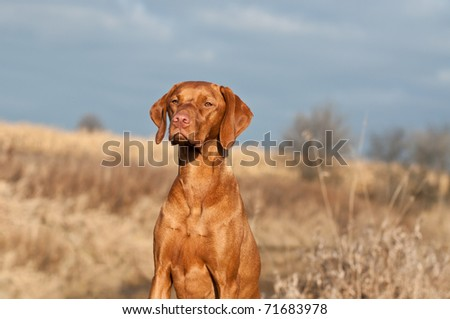 A Vizsla dog (Hungarian pointer) sits in a field on an autumn day. - stock photo