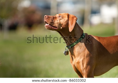 A Vizsla dog looks up to the sky with his mouth slightly open. He is wearing a green collar with several dog tags.
