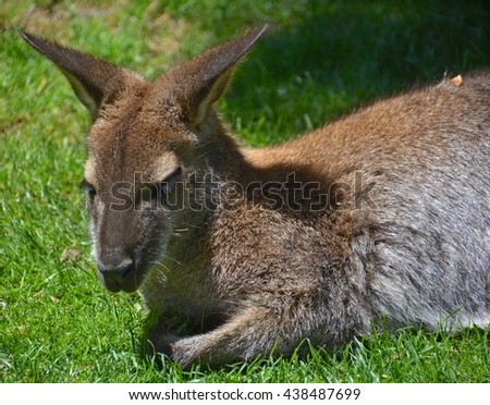 A wallaby is any animal belonging to the family Macropodidae that is smaller than a kangaroo and hasn't been designated otherwise. - stock photo