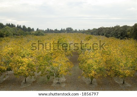 A walnut orchard in the fall. - stock photo