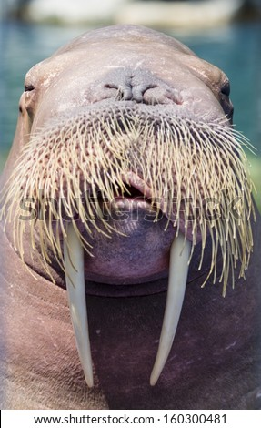 A walrus, closeup  - stock photo