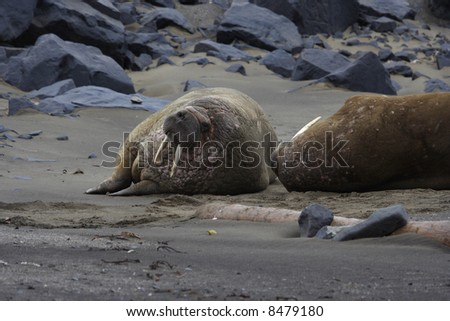 A walrus up in the Arctic Circle on Svalbard - stock photo