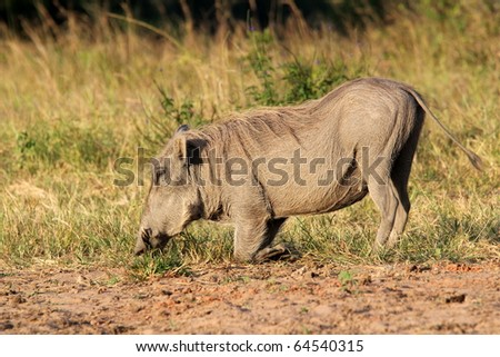 A warthog grazing on its knees in Shimba Hills, Kenya - stock photo