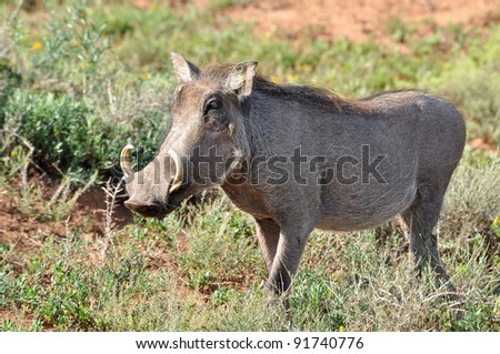 A warthog (phacochoerus aethiopicus) in the Kruger Park, South Africa