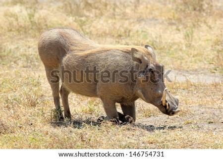 A warthog (Phacochoerus africanus) is sitting, Ngorongoro Conservation Area, Tanzania - stock photo