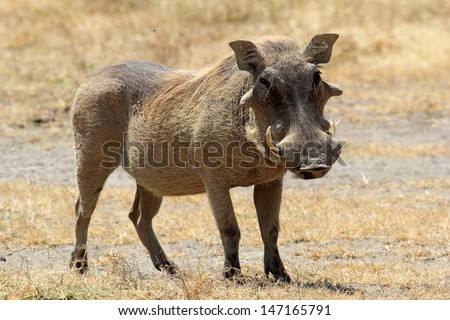 A warthog (Phacochoerus africanus) standing, Ngorongoro Conservation Area, Tanzania - stock photo