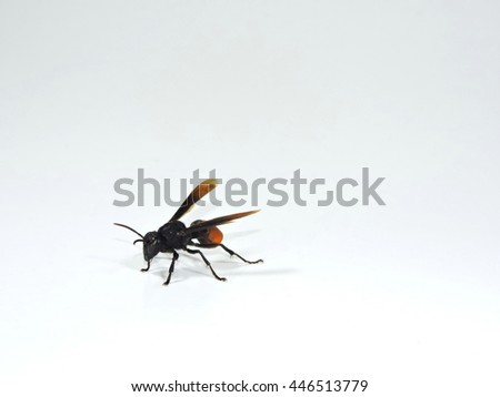 A wasp isolated on white