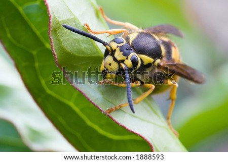 A wasp resting on a leaf - stock photo