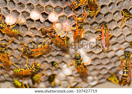 A wasp's next with vespula germanica insect. - stock photo