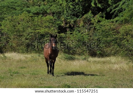 A watchful dark bay feral horse on the island of Vieques in Puerto Rico - stock photo