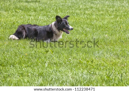 A watchful young border collie alert in its herding duties. - stock photo