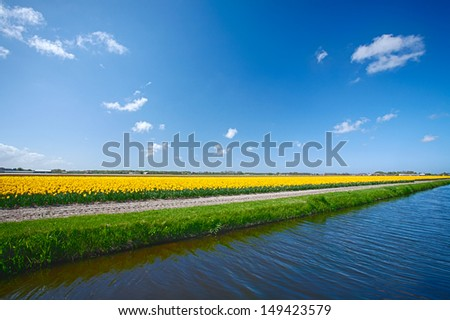 A water canal nearby a field with blooming yellow tulips. Photographed under a blue sky in the Netherlands. - stock photo