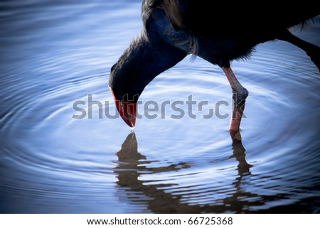 A Water Droplet Extends From A Red Billed Coots Beak Touching The Surface Of Water