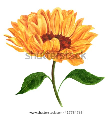 A watercolor drawing of a vibrant golden yellow sunflower, hand painted on white in the style of vintage botanical art - stock photo