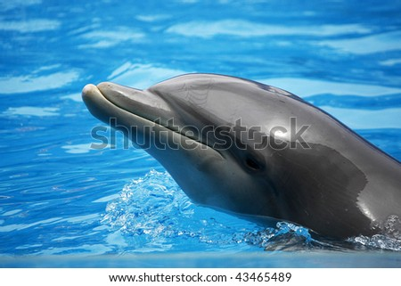 A waterpark dolphin swims with it's head out of the water.