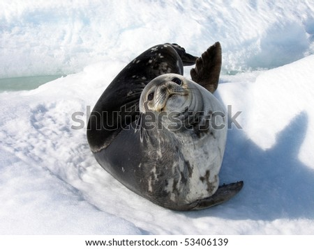 A Weddell Seal - stock photo