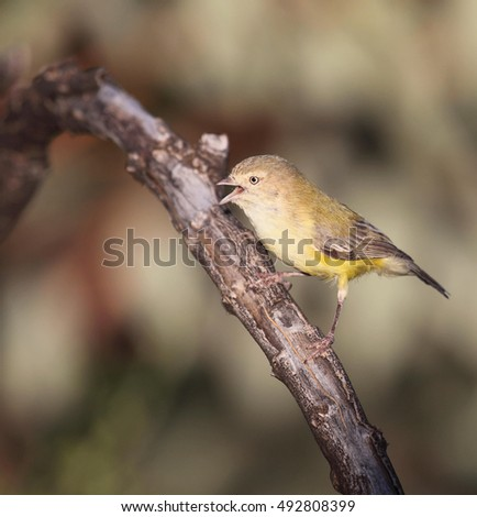 A Weebill, one of the smallest songbirds in Australia.